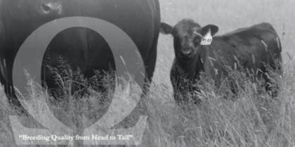 Merlewood Angus – Sale Catalogue